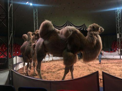 Немецкий цирк в канун выступления в Новочеркасске провел масштабную репетицию