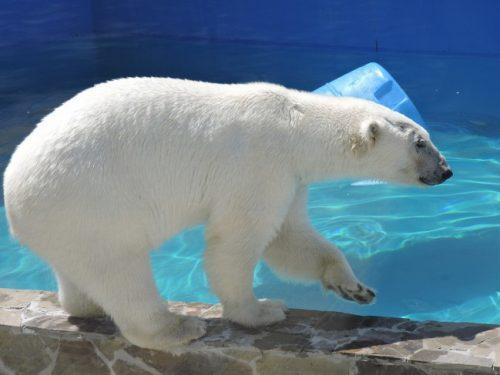 Ростовский зоопарк отпразднует шестой день рождения белой медведицы Кометы