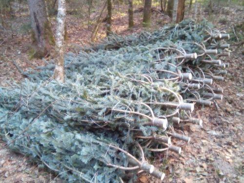 Браконьерская вырубка елок может обернуться лишением свободы сроком до семи лет