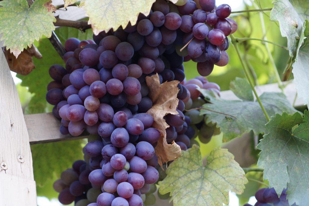 В Новочеркасске проведут фестиваль автохтонных вин Дона