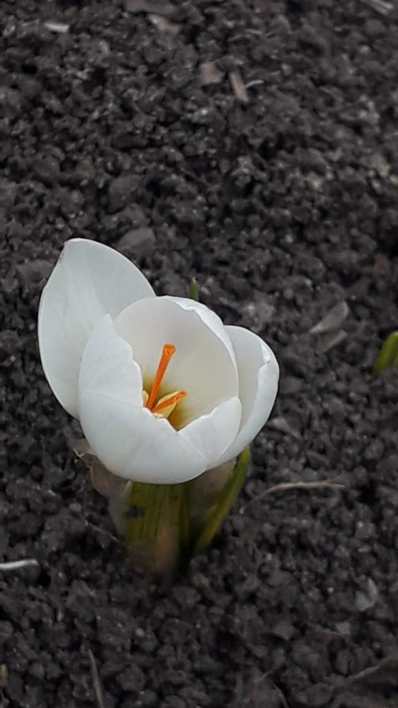 Самые первые весенние цветы расцвели в казачьей столице к 8 Марта
