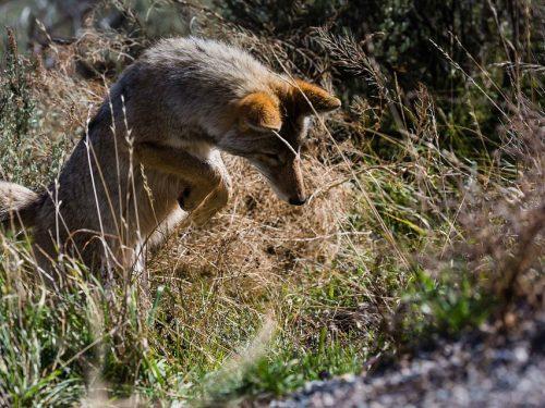 Иммунизация диких животных от бешенства пройдёт в донском регионе