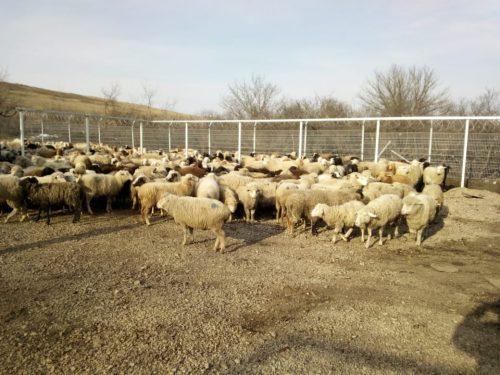 ФСБ сообщило о конфискации 250 голов овец за нарушение их перевозки через госграницу