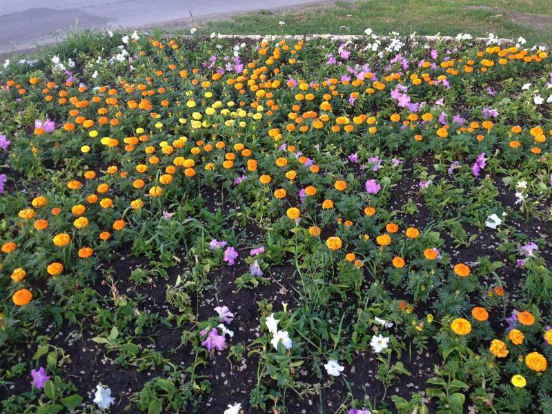 30 тысяч цветов украсили на сегодня клумбы Новочеркасска