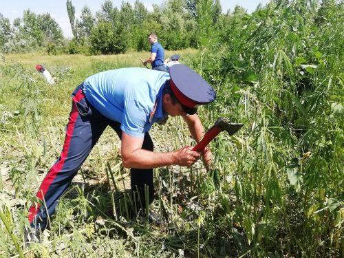 Казаки-дружинники вышли на борьбу с дикорастущей коноплей