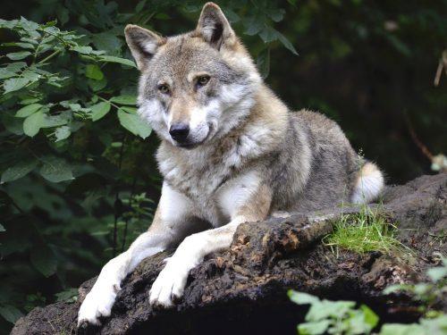 Охота в целях регулирования численности волка, шакала, лисицы и енотовидной собаки