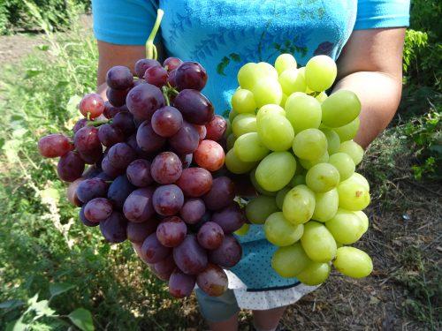 Новочеркасцы ждут гостей фестиваля «Виноград без границ»