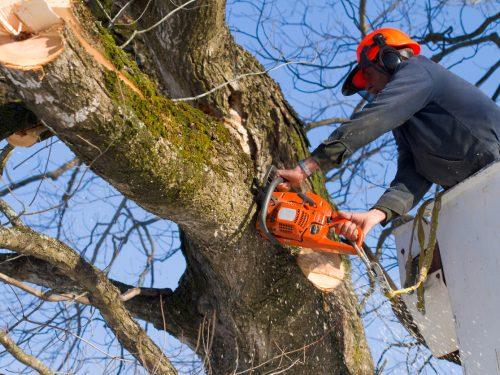 Полтора процента деревьев в парке Соцгород являлись аварийными