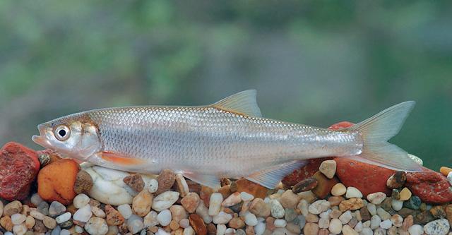 В Ростовской области редкой рыбе помогли покинуть Красную книгу