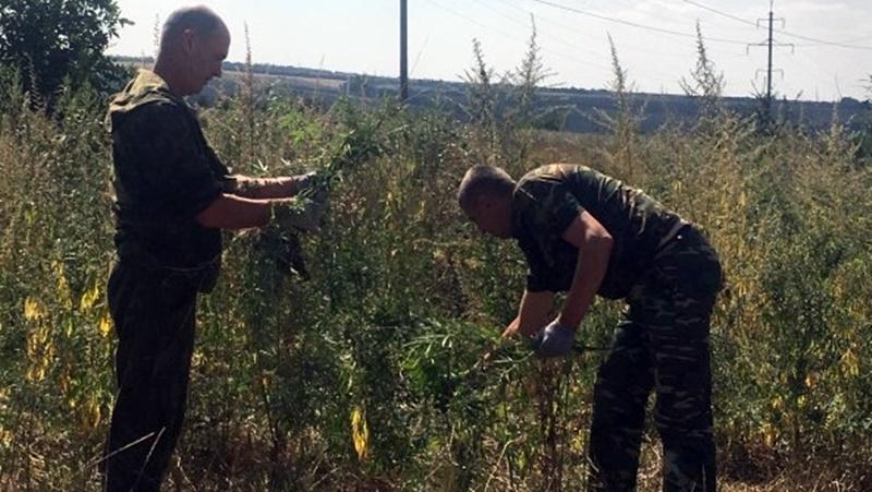 В Новочеркасске продолжается борьба с коноплёй