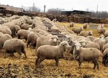 Под Новочеркасском выводят новую популяцию универсальных овец