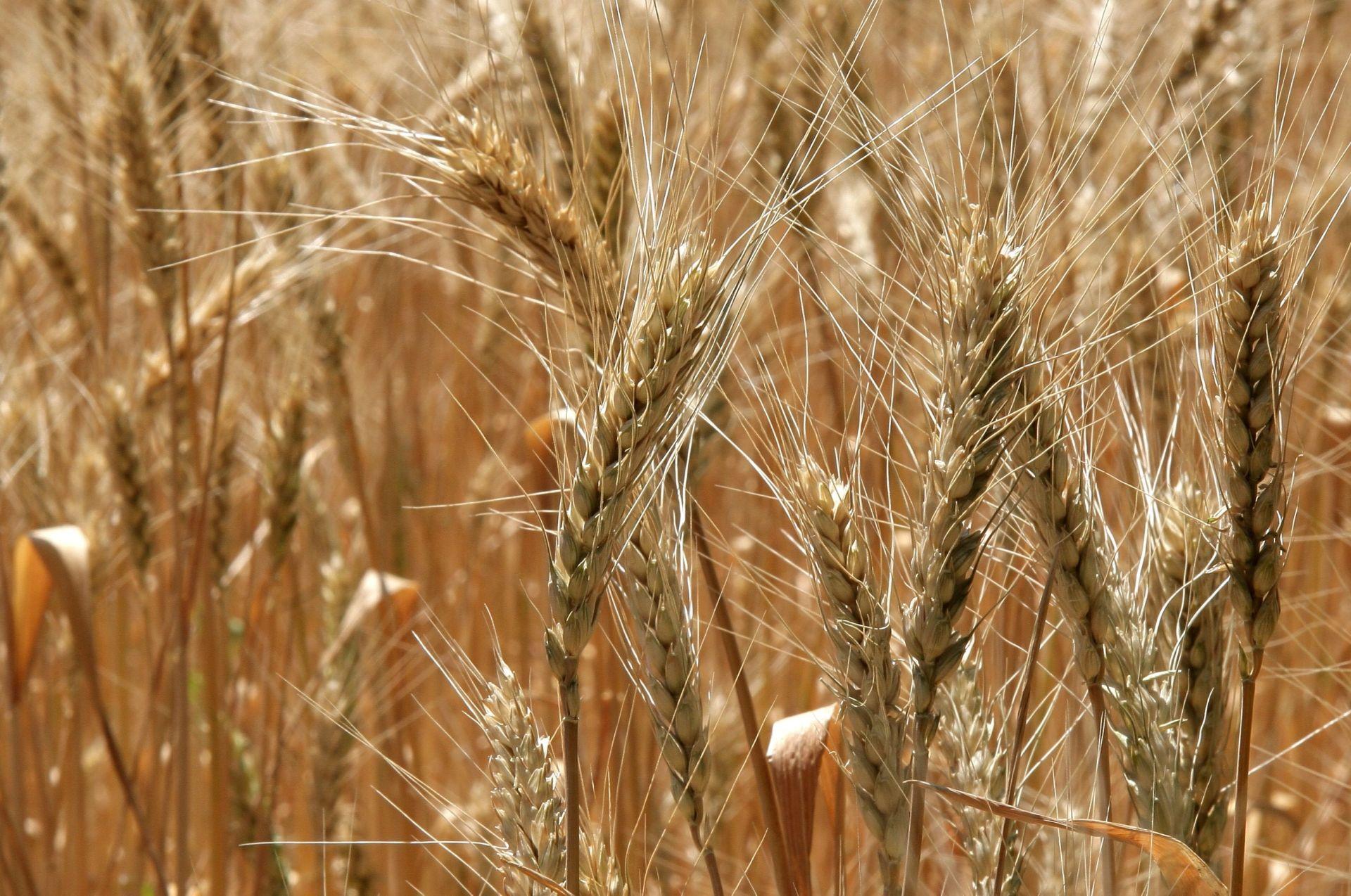 Ростовская область держит лидерство по сбору зерновых в России