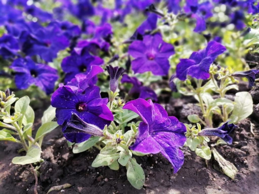 100 тысяч цветов украсили улицы Новочеркасска